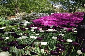 tulipas do parque